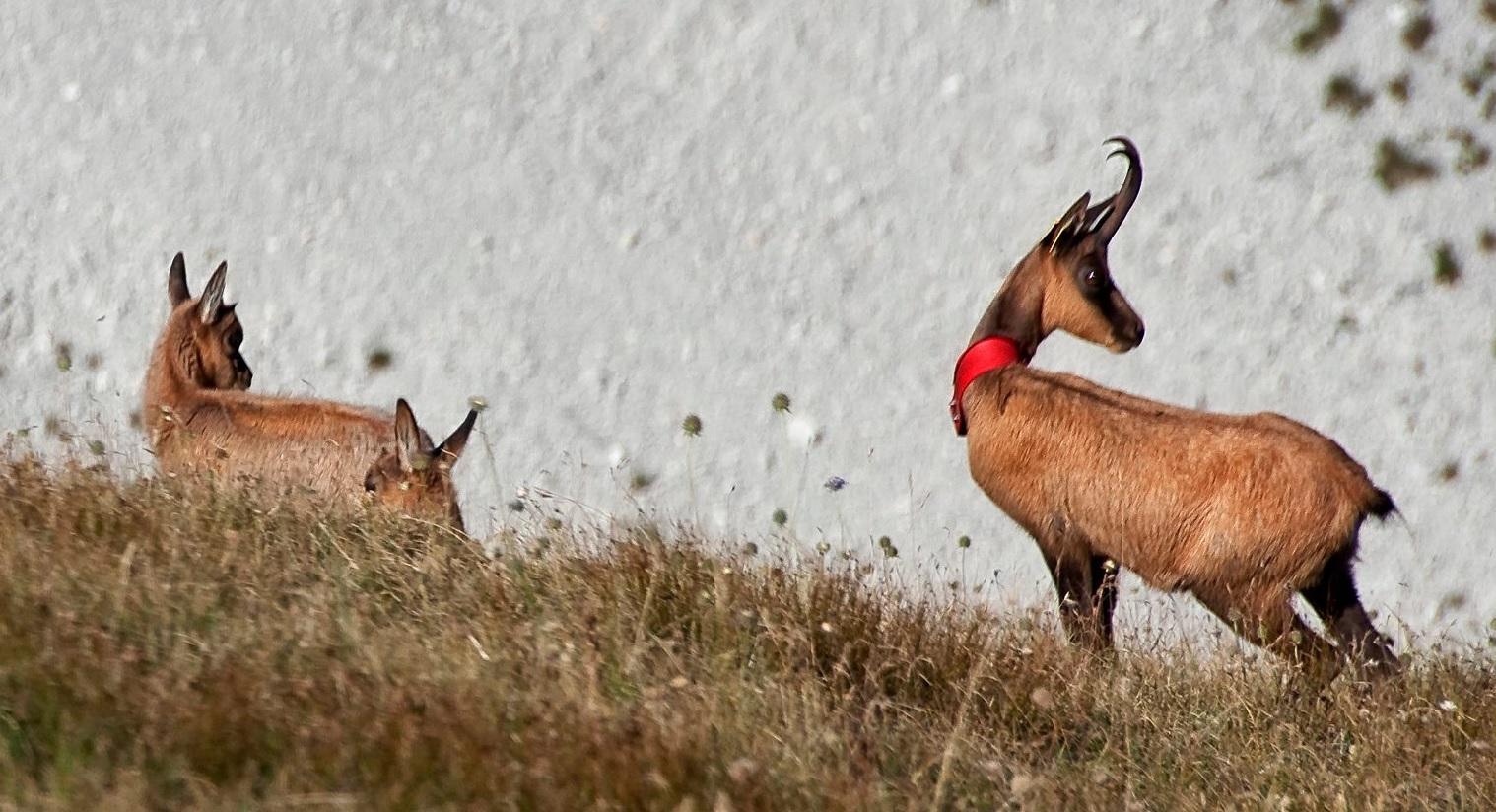 Carovana del camoscio, tappa nel Parco dei Sibillini