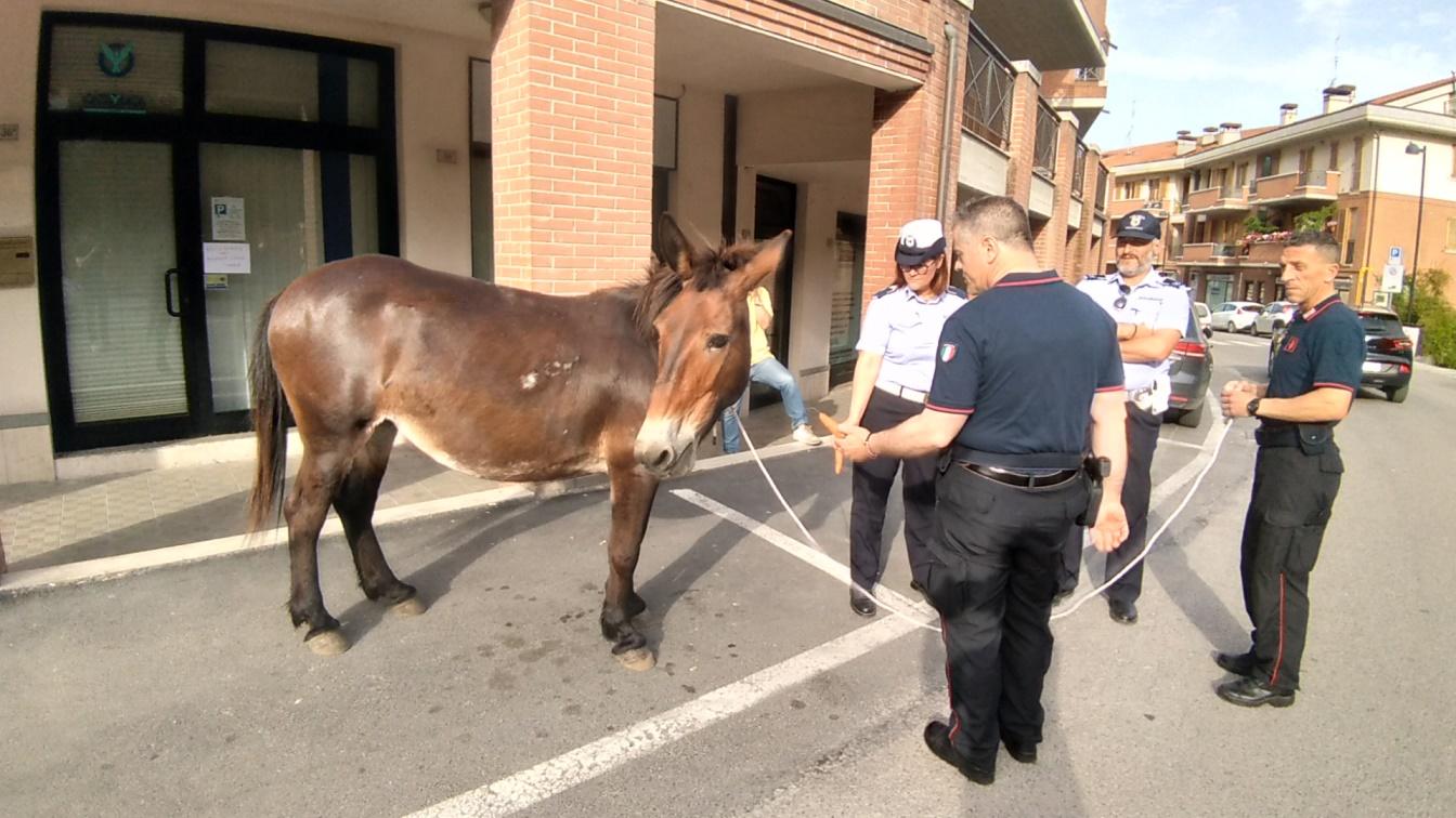 San Severino Marche, mulo a passeggio in via Gorgonero