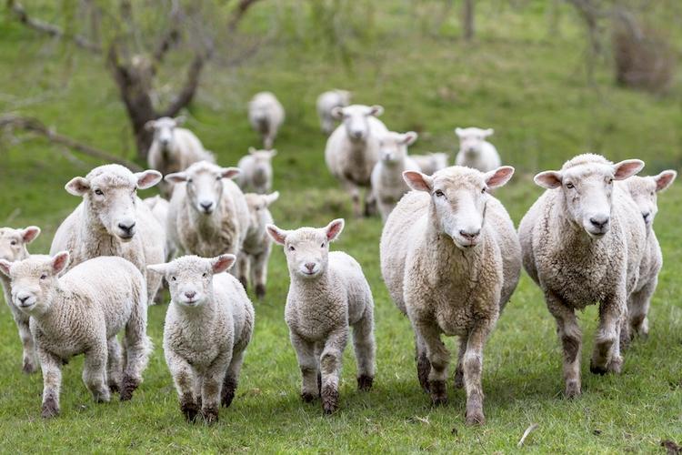 Regione Marche, bando da 600 mila euro per gli allevamenti