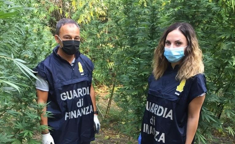 Corridonia, Guardia di Finanza scopre piantagione di marijuana